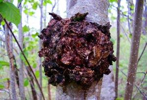 Что представляет из себя гриб чага